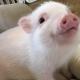 Pig Star, najsłynniejsze świnie na Instagramie!  / Obraz 3