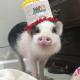 Pig Star, najsłynniejsze świnie na Instagramie!  / Obraz 4