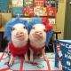 Pig Star, najsłynniejsze świnie na Instagramie!  / Obraz 5