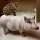 Pig Star, najsłynniejsze świnie na Instagramie!  / Cyfra 8